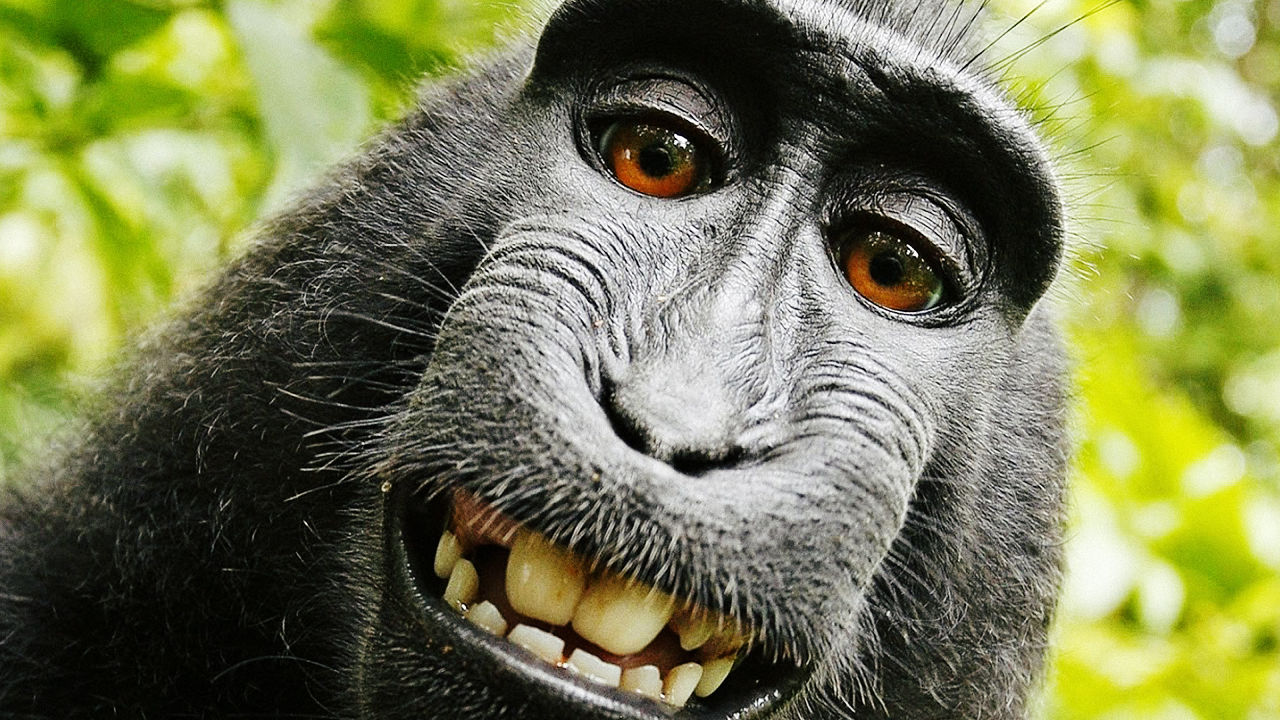 the act of plagiarism in the selfie photograph of david slater with the famous monkey naruto Freelance photographer david slater, once one of the most talked-about photographers in the world because of his serendipitous 'monkey selfies,' is now considering dog walking or giving tennis lessons according to the guardian, the selfsame selfie that made slater famous has left him broke.