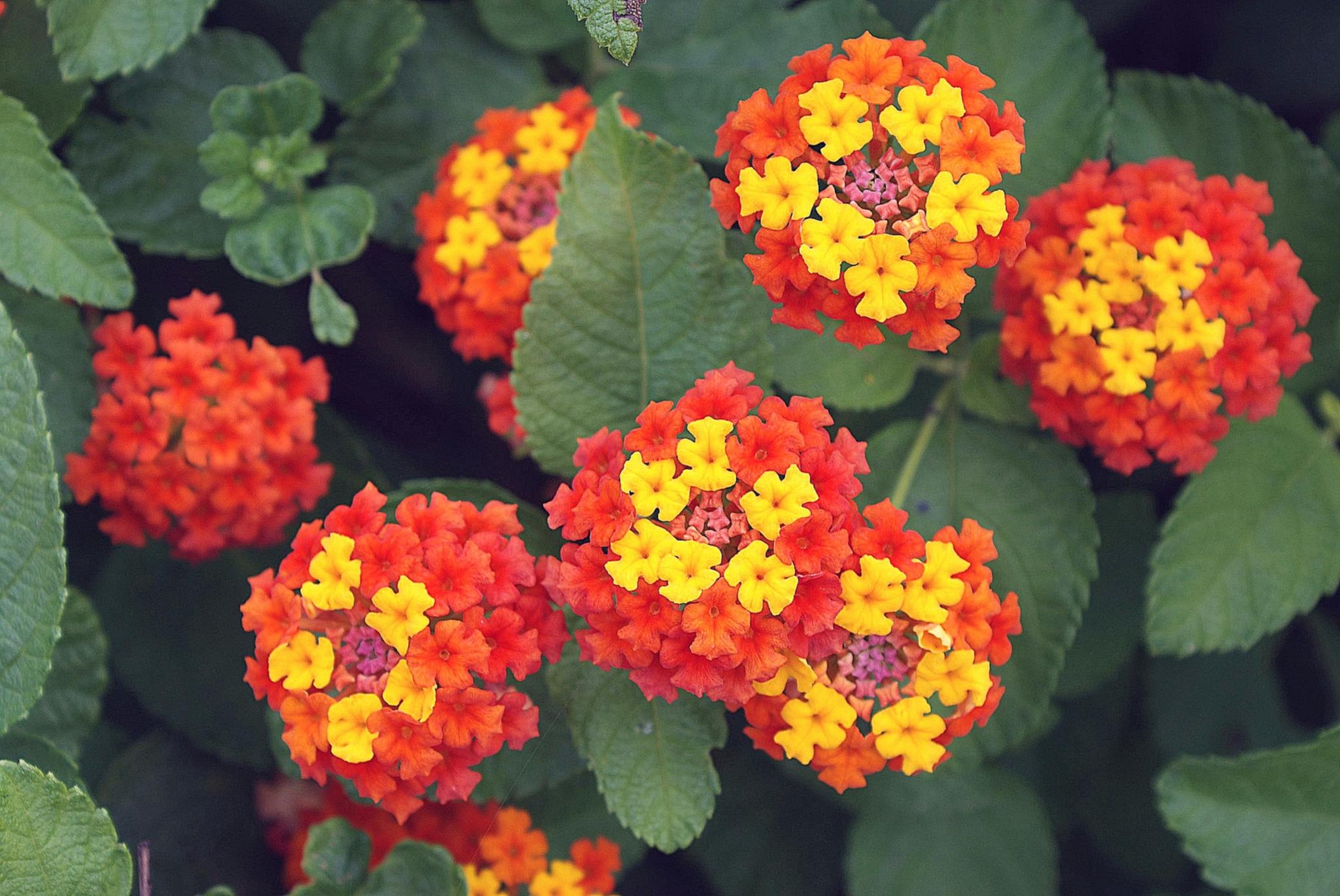 Купить в спб цветок лантана