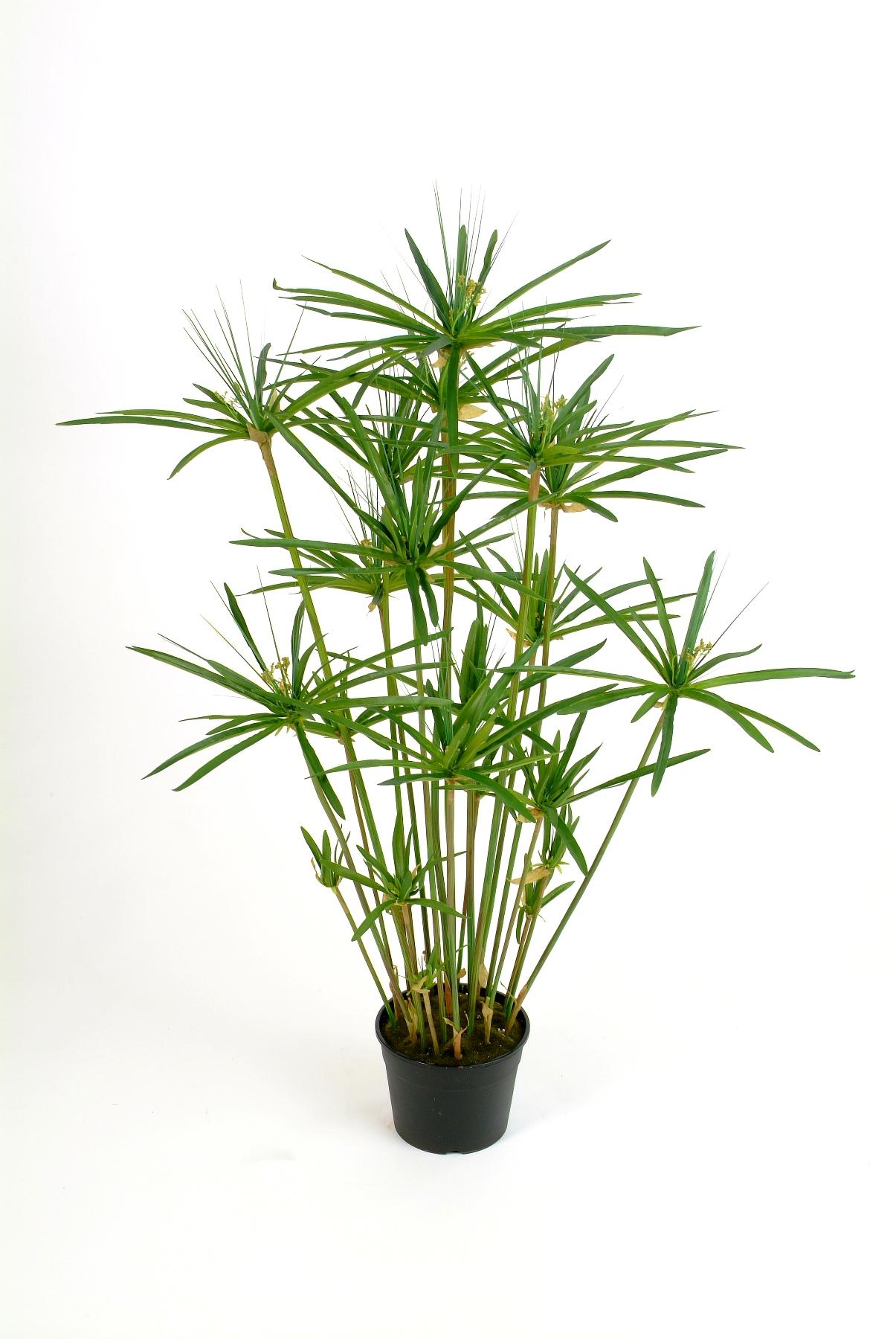 Папирус домашний цветок