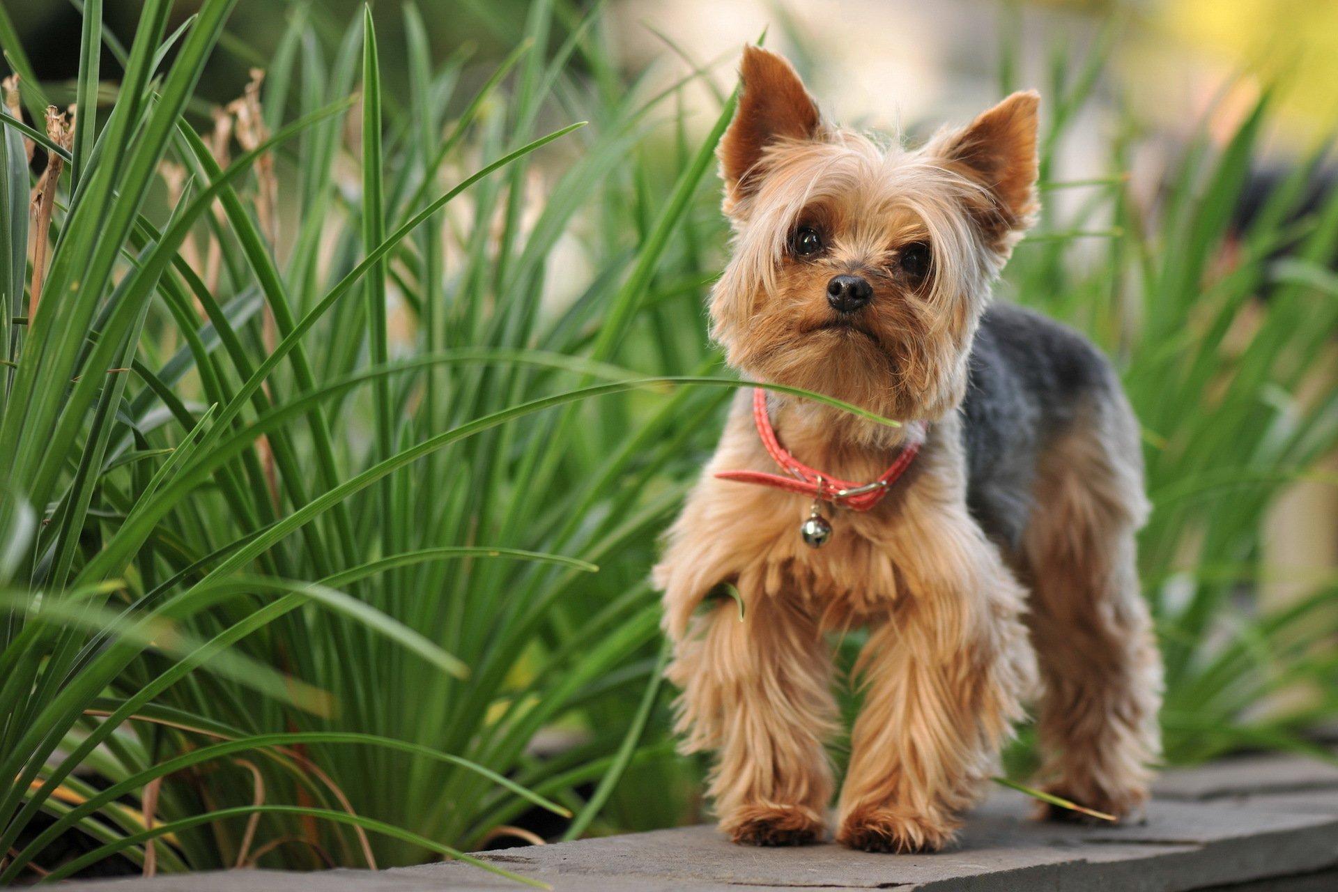 обычно порода собак йоркширский терьер фото довольно быстро, минут