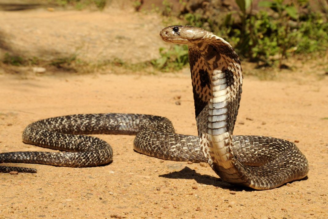 Black desert cobra