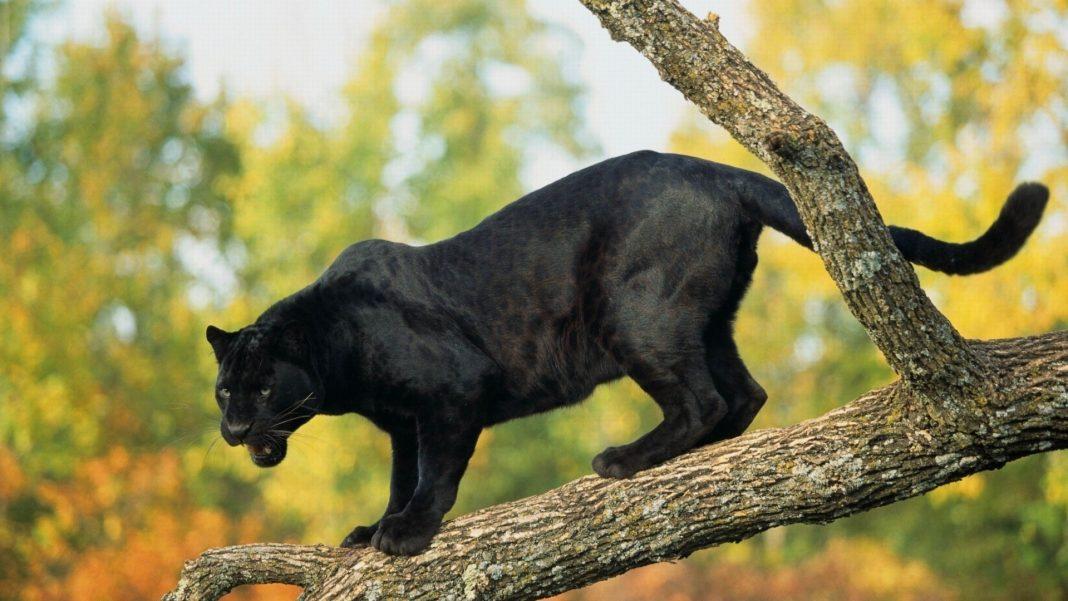 Как выглядит пума и пантера
