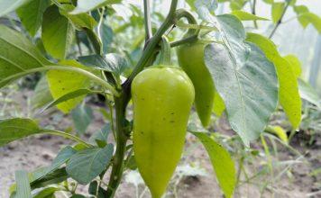 Топ 10 правил как вырастить болгарский перец в теплице